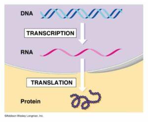 transcrtransl