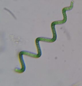 Arthrospira is a genus of free-floating filamentous cyanobacteria characterized by cylindrical, multicellular trichomes in an open left-hand helix.