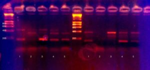 PCR product glows on an agarose gel